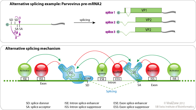 alternative splicing Alternative splicing, or differential splicing, is a regulated process during gene  expression that results in a single gene coding for multiple proteins in this.