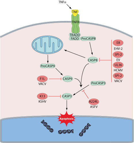 apoptosis and inhibitor of apoptosis proteins family a Misregulated innate immune signaling and cell death form the basis of much  human disease pathogenesis inhibitor of apoptosis (iap) protein family members .