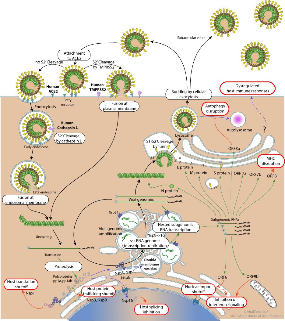 Coronavirus Life Cycle Viralzone