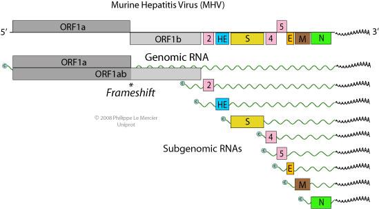 coronavirus orf