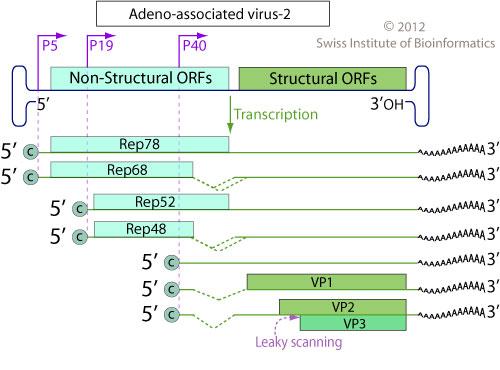 Dependovirus (Adeno-Associated Viruses)