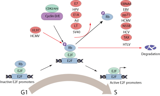 ViralZone: G1/S host cell cycle checkpoint dysregulation by virus