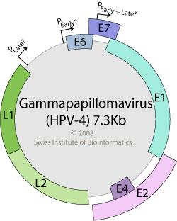 Giardia nell uomo, Belféreg împotriva drogurilor, Papillomaviridae viralzone