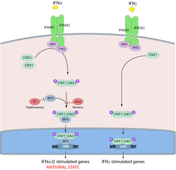 Inhibition Of Host IRF9 By Virus