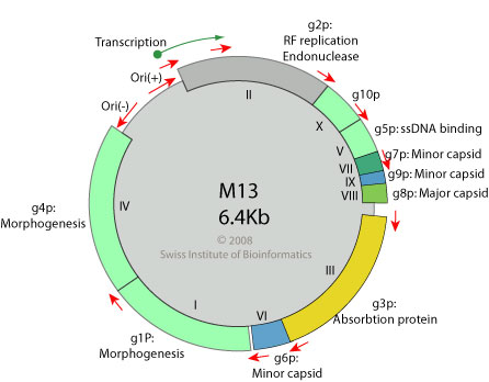 filamentous dna phages single stranded rna phages Bacteriophages ( phages ) single-stranded rna phages appropriate expression of filamentous phage f1 dna replication genes ii and x requires rnase e.