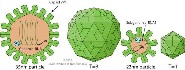 Lagovirus