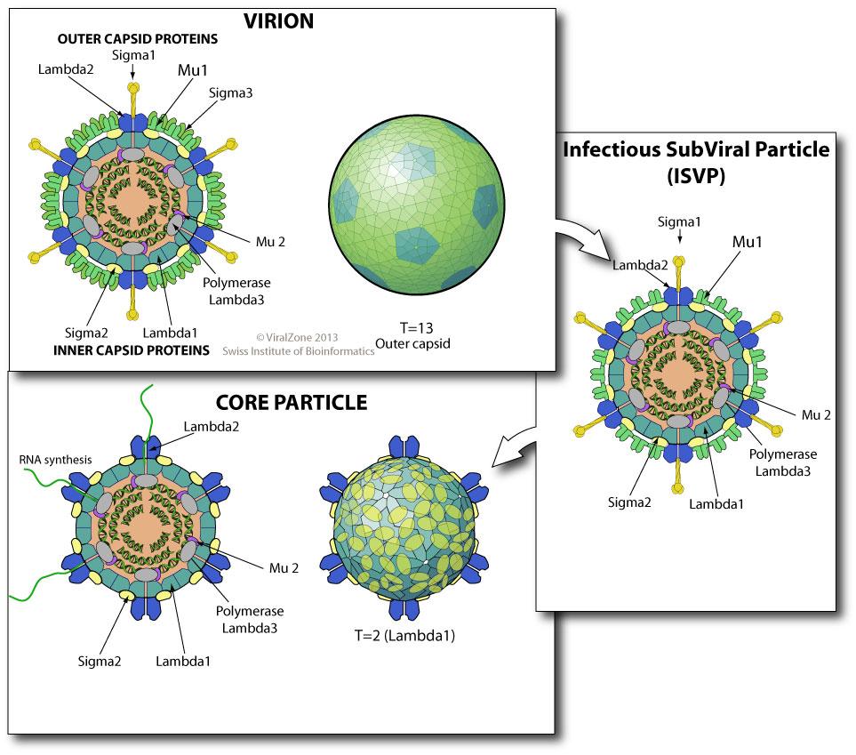bluetounge virus