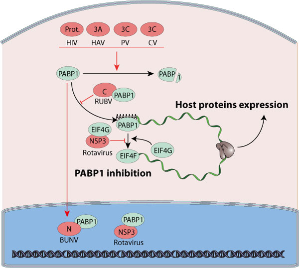 Inhibition Of Host Poly(A)-binding Protein By Virus