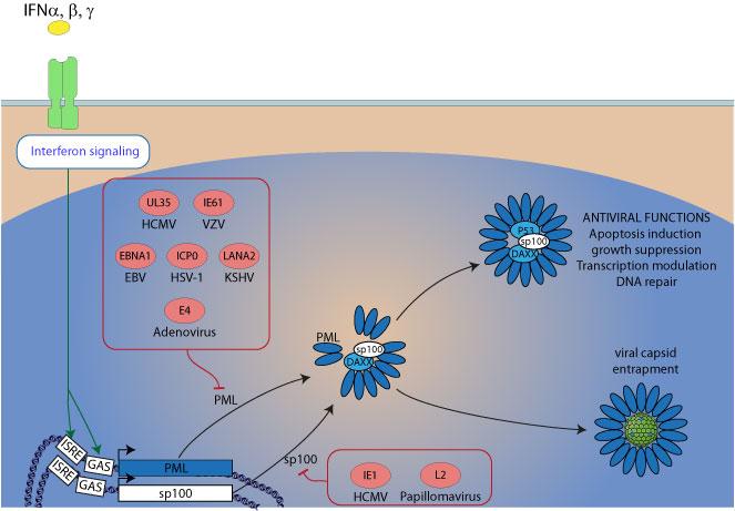 Pml Protein Leukemia Protein Pml is