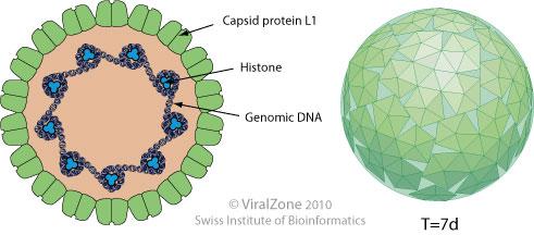 hpv virus a dna verruche da papilloma virus immagini