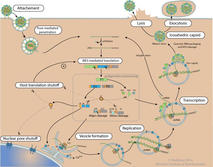 Poliovirus_cycle2.png