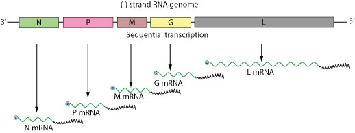 Genome information broker for viruses