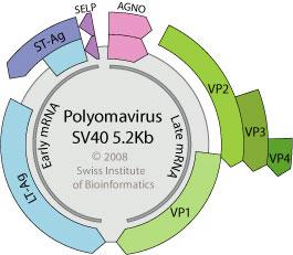 Polyomaviridae ~ ViralZone page
