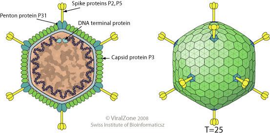 Barleyendospermsem furthermore Central Dogma A Dna E Rna E Protein furthermore Transcription Elongation moreover Tectiviridae Virion likewise Gene Mutations. on dna transcription and translation