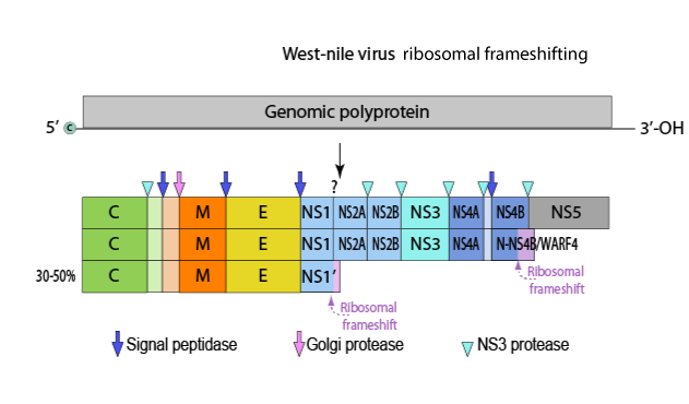 genome as resources for biocatalyst Zhu and co-workers used the rational genome mining method, combining with functional analysis of the genetic information to search for potential nitrilases (zhu et al.