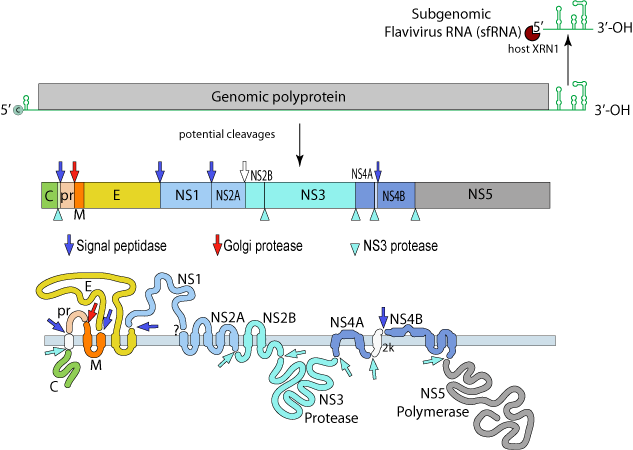 Zika_genome.png