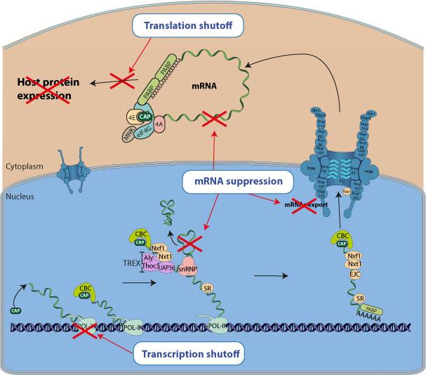 Transcriptional Gene Expression Gene Expression Shutoff by