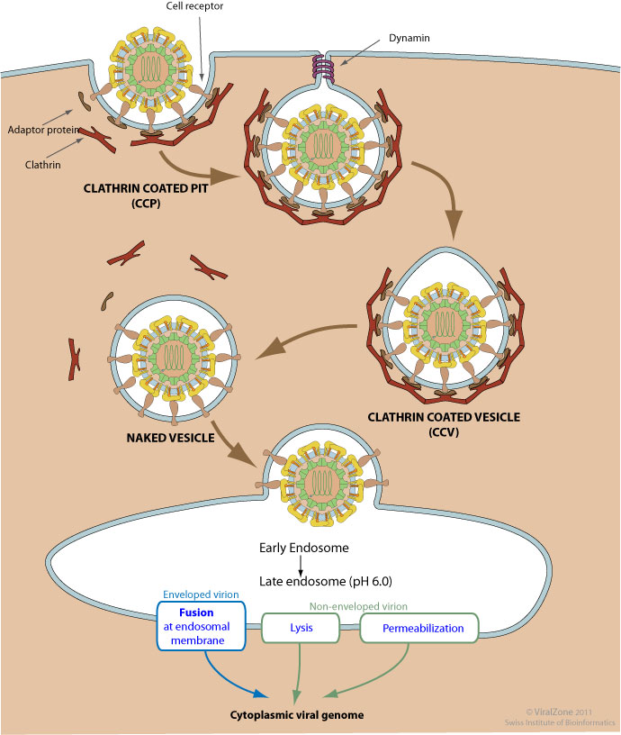 Clathrin-mediated Endocytosis Of Virus By Host