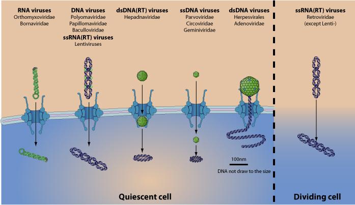 hpv virus rna or dna