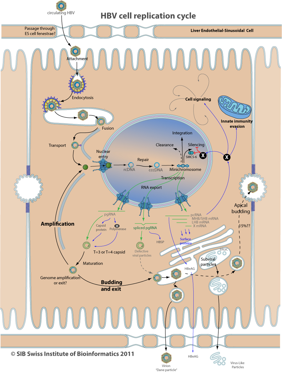 HBV PROJECT ~ ViralZone page Nuclear Pore