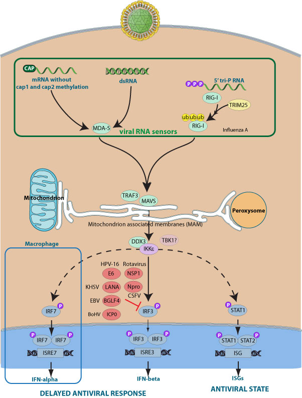Inhibition of host IRF3 by virus Coronavirus Replication
