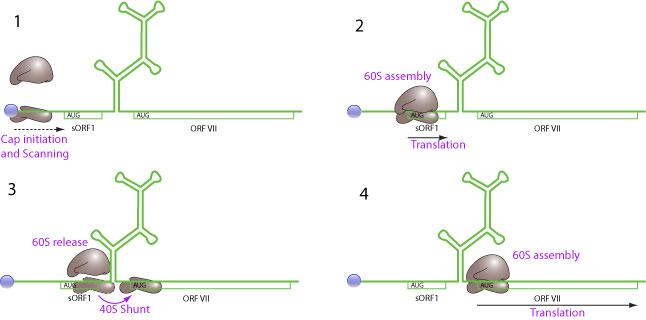 Ribosomal shunt swarovskicordoba Choice Image