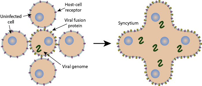 Syncytium Formation Induced By Viral Infection