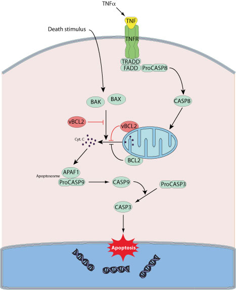 IAP family proteins—suppressors of apoptosis